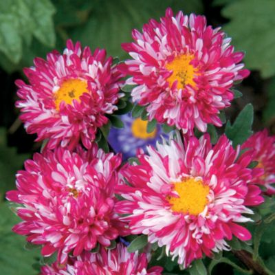 China Aster Matsumoto Red Stripe