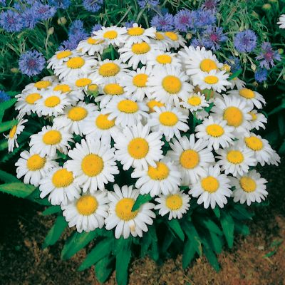 Shasta Daisy Snow Lady