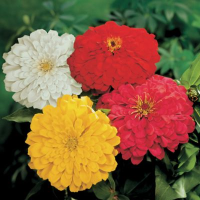 Zinnia Sunshine Hybrid Mix
