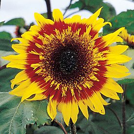 Helianthus annuus - The Joker