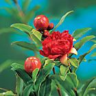 Dwarf Pomegranate  Punica granatum 'Nana'