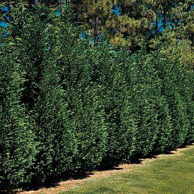 how to stop leylandii growing