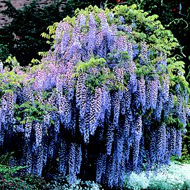 how to grow wisteria from seed uk
