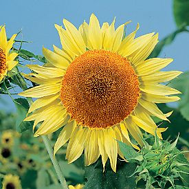 Helianthus annuus - Russian Mammonth