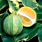 Citrus 'Variegated Lemon'