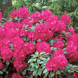 buy dwarf azalea 39 nova zembla 39 rhododendron online from. Black Bedroom Furniture Sets. Home Design Ideas