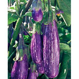 Eggplant Fairy TaleJapanese Eggplant Plant Care