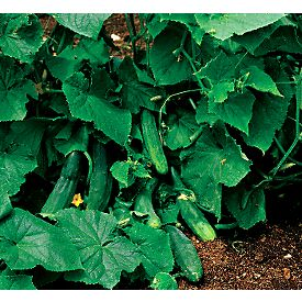 Cucumber Plant Care Amp Growing Information Folia